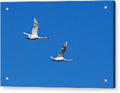 Acrylic Print featuring the photograph Trumpeter Swan 1727 by Michael Peychich