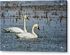 Trumpeter Swan - Pair Acrylic Print