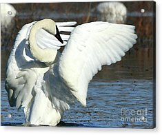 Acrylic Print featuring the photograph Trumpeter Swan by Paula Guttilla