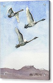 Acrylic Print featuring the painting Trumpeter Swan Study by Kris Parins