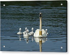 Trumpeter Swan With Cygnets Acrylic Print by Ron Read