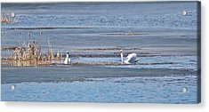 Acrylic Print featuring the photograph Trumpeter Swans 0933 by Michael Peychich