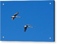 Acrylic Print featuring the photograph Trumpeter Swans 1726 by Michael Peychich