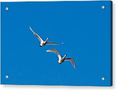 Acrylic Print featuring the photograph Trumpeter Swans 1735 by Michael Peychich