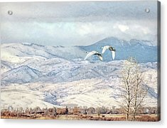 Acrylic Print featuring the photograph Trumpeter Swans Winter Flight by Jennie Marie Schell