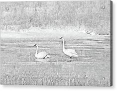 Acrylic Print featuring the photograph Trumpeter Swan's Winter Rest Gray by Jennie Marie Schell