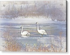 Acrylic Print featuring the photograph Trumpeter Swan's Winter Rest by Jennie Marie Schell