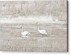 Acrylic Print featuring the photograph Trumpeter Swan's Winter Rest Beige by Jennie Marie Schell