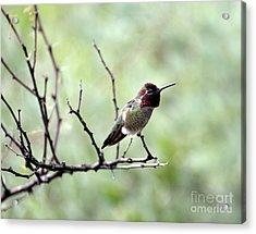 Trumpeting Hummingbird Acrylic Print