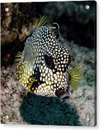 Acrylic Print featuring the photograph Trunkfish Portrait by Jean Noren