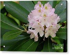 Tucker County Rhododendron Acrylic Print