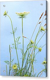 Tuft Of Queen Anne's Lace Acrylic Print