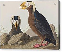 Tufted Auk Acrylic Print by John James Audubon