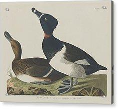 Tufted Duck Acrylic Print