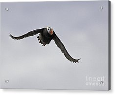 Tufted Puffin In Flight Acrylic Print