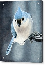 Tufted Titmouse Acrylic Print by Corrina Thurston