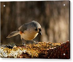 Tufted Titmouse In Fall Acrylic Print