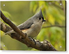 Tufted Titmouse In Sugar Maple Acrylic Print