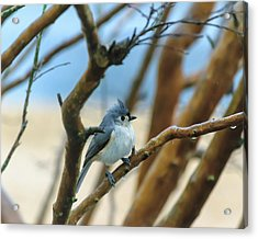 Tufted Titmouse In Tree Acrylic Print