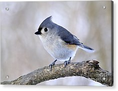 Tufted Titmouse On Dogwood 2 Acrylic Print by Thomas R Fletcher