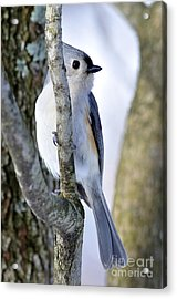 Tufted Titmouse On Dogwood Acrylic Print by Thomas R Fletcher