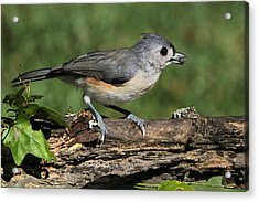 Tufted Titmouse On Tree Branch Acrylic Print