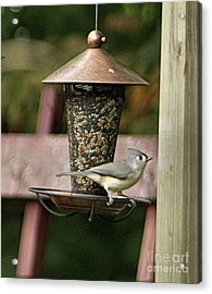 Tufted Titmouse - Southern Indiana Acrylic Print
