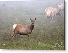 Tule Elk In Fog Acrylic Print by Wingsdomain Art and Photography