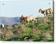Acrylic Print featuring the photograph Tules Elks At Tomales Bay Point Reyes National Seashore California 5dimg9315 by Wingsdomain Art and Photography