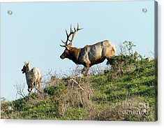 Acrylic Print featuring the photograph Tules Elks At Tomales Bay Point Reyes National Seashore California 5dimg9327 by Wingsdomain Art and Photography
