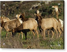 Acrylic Print featuring the photograph Tules Elks At Tomales Bay Point Reyes National Seashore California 5dimg9338 by Wingsdomain Art and Photography