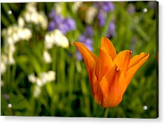 Tulip And Friends L Acrylic Print by Andy Smy