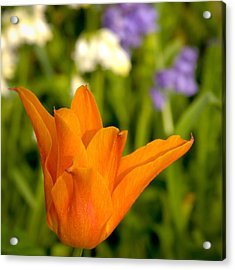 Tulip And Friends Sq Acrylic Print by Andy Smy