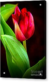 Tulip Caught In The Light Acrylic Print