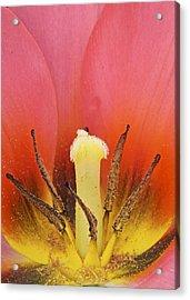 Tulip Center Acrylic Print by Michael Peychich