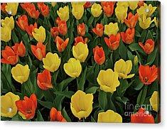 Tulip Chorus Acrylic Print