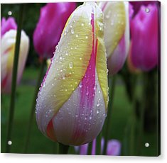 Acrylic Print featuring the photograph Tulip Close-up 2 by Manuela Constantin
