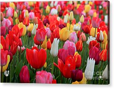Tulip Color Mix Acrylic Print