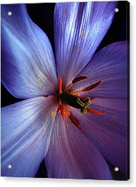 Acrylic Print featuring the photograph Tulip Convert by Gwyn Newcombe