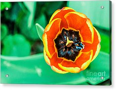 Tulip Acrylic Print by Dennis Wagner