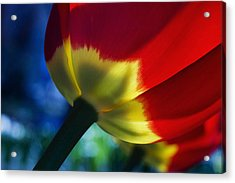 Tulip Expression Wide Acrylic Print by Shawn Young