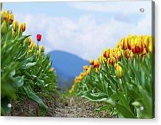 Tulip Farm Acrylic Print by Naman Imagery