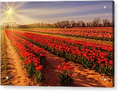 Acrylic Print featuring the photograph Tulip Farm Sunset by Susan Candelario