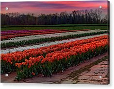 Acrylic Print featuring the photograph Tulip Farm by Susan Candelario