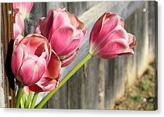 Tulip Fence Acrylic Print by Lynnette Johns