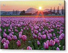 Tulip Field At Sunset Acrylic Print by Davidnguyenphotos