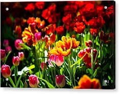 Acrylic Print featuring the photograph Tulip Flower Beauty by Alexander Senin