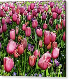 Acrylic Print featuring the photograph Tulip Flowers  by D Davila