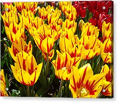 Tulip Flowers Festival Yellow Red Art Prints Tulips Acrylic Print by Baslee Troutman