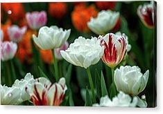 Acrylic Print featuring the photograph Tulip Flowers by Pradeep Raja Prints